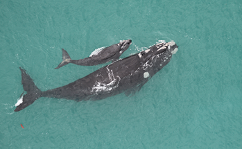 A southern right whale with her calf