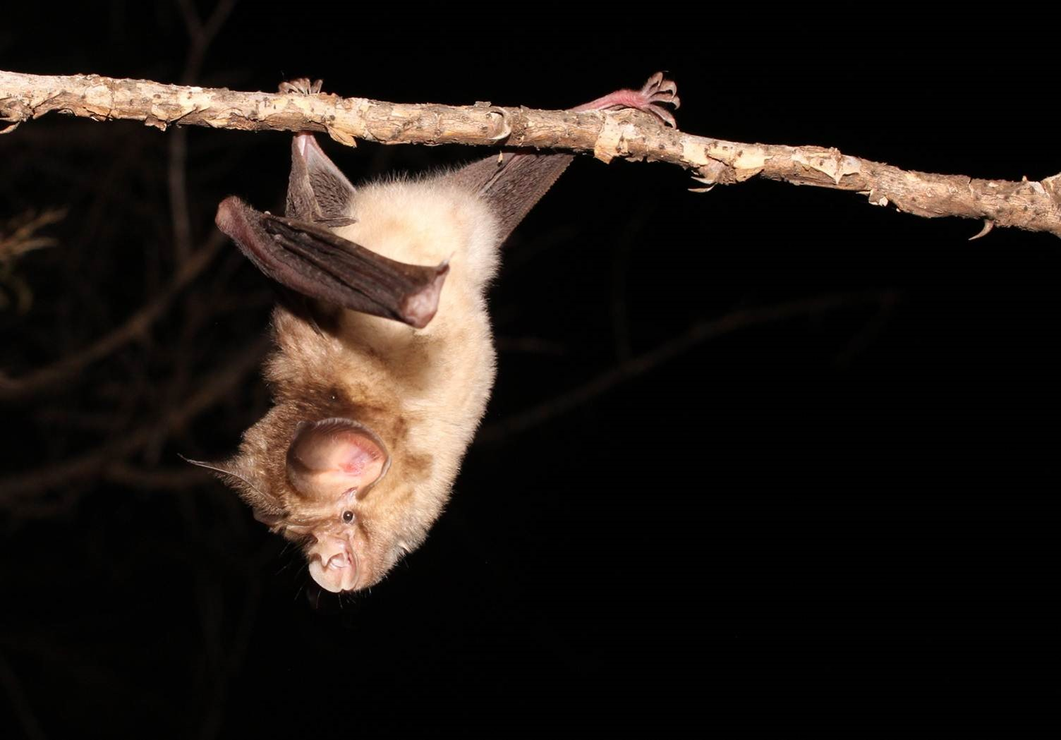 A Horseshoe bat on a branch