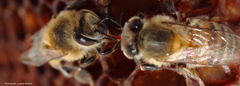 Trophallaxis between honeybees
